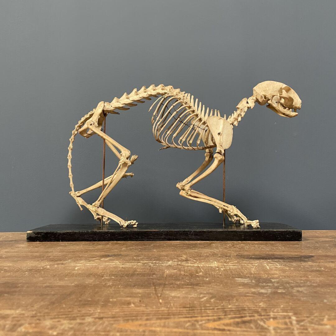 Oud opgezette katten skelet