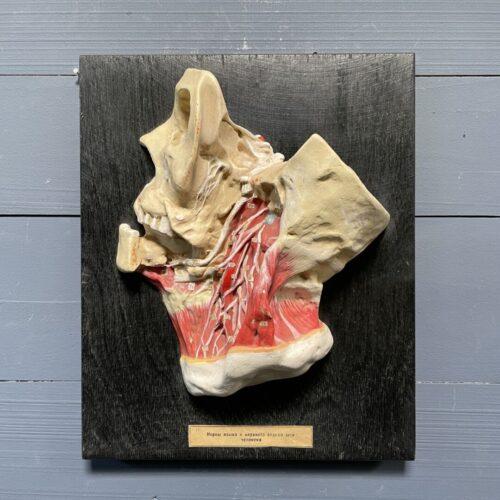 Anatomisch lesmodel van gips