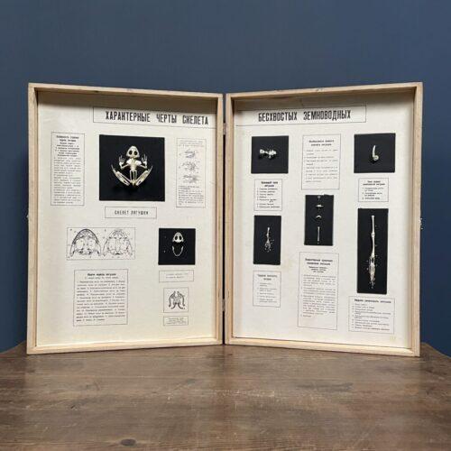 Geprepareerde kikker skeletten in houten boek