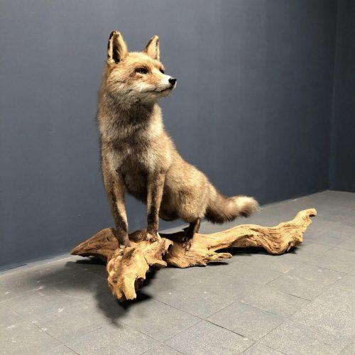 Opgezette grote vos