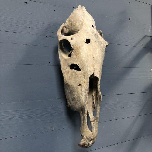 Oude verweerde schedel van een paard