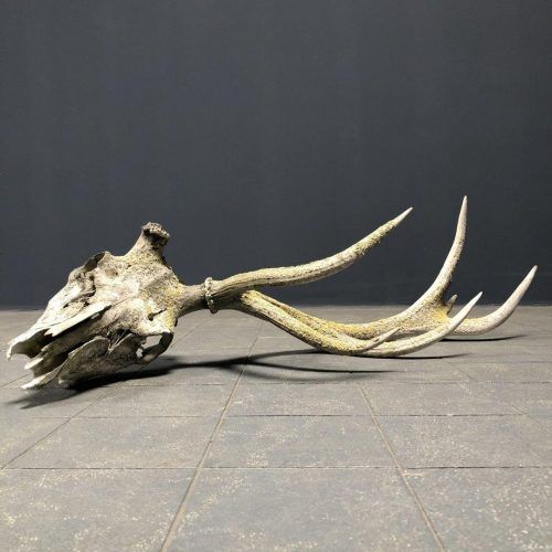 verweerde oude schedel van een edelhert