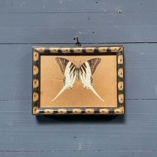 Oude ingelijste Graphius Androcles vlinder