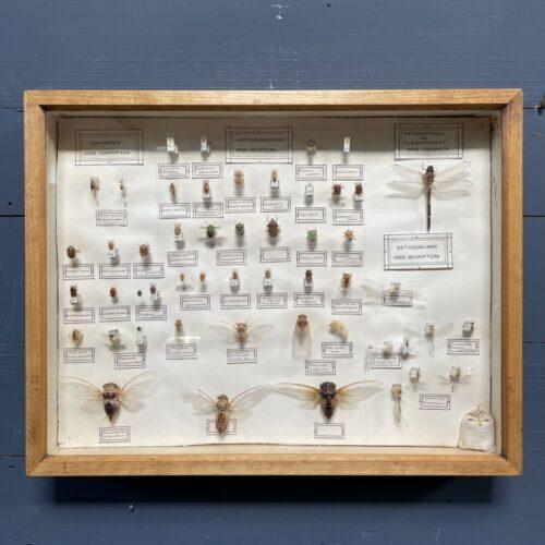 Mooie Nederlandse vitrine met verschillende insecten