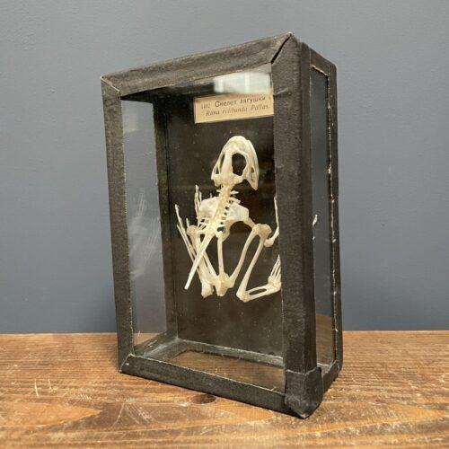 Opgezet kikker skelet in glazen doosje
