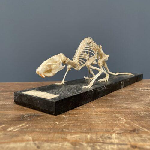 Oud opgezet ratten skelet