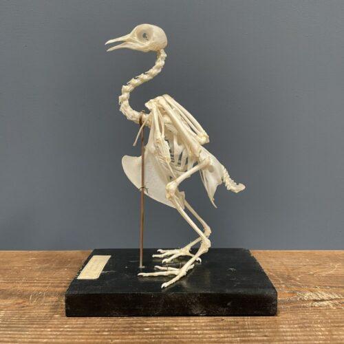 Opgezet vogelskelet van een duif