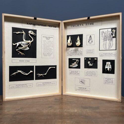 Geprepareerde vogel skeletten in houten boek