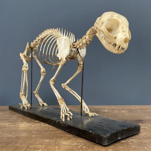 Oud opgezet katten Skelet