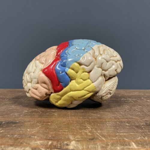 Anatomische hersenen van gips