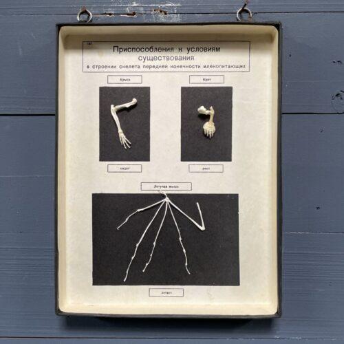 Wanddoos met geprepareerde dierlijke poten